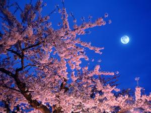 Cherry Blossoms and Full Moon