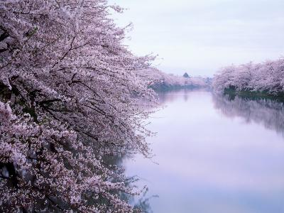 Cherry Blossoms and Moat--Photographic Print