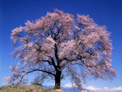 Cherry Blossoms and Mt. Yastu--Photographic Print