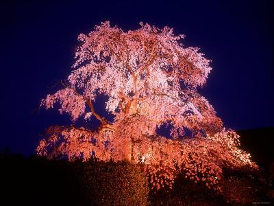 Cherry Blossoms by Night--Photographic Print