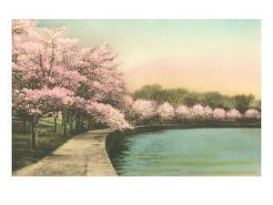 Cherry Blossoms by Tidal Basin