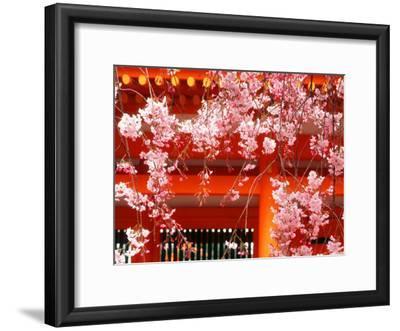 Cherry Blossoms, Heian-Jingu Shrine, Kyoto, Japan