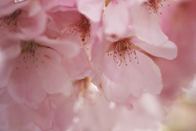 Cherry Blossoms I-Rita Crane-Art Print