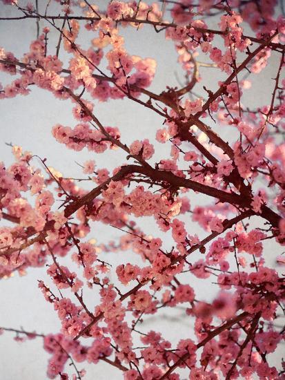 Cherry Blossoms II-Susan Bryant-Photographic Print