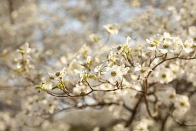 Cherry Blossoms II-Karyn Millet-Photographic Print