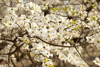 Cherry Blossoms III-Karyn Millet-Photographic Print
