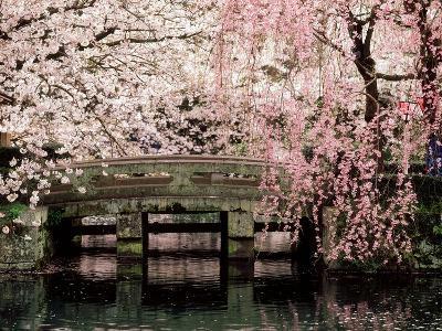 Cherry Blossoms, Mishima Taisha Shrine, Shizuoka--Photographic Print