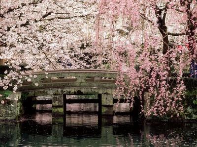 https://imgc.artprintimages.com/img/print/cherry-blossoms-mishima-taisha-shrine-shizuoka_u-l-q10w3z20.jpg?p=0