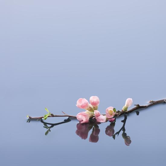 Cherry blossoms on water-John Smith-Photographic Print