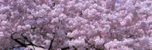 Cherry Blossoms, Washington D.C., USA