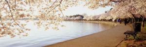 Cherry Blossoms, Washington DC, District of Columbia, USA