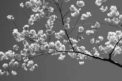 Beautiful Cherry Black And White Photography Artwork For Sale Posters Prints