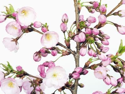 https://imgc.artprintimages.com/img/print/cherry-blossoms_u-l-pzlgd60.jpg?p=0