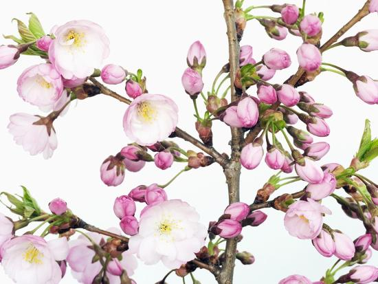 Cherry blossoms-Frank Krahmer-Photographic Print