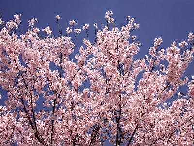 Cherry Blossoms--Photographic Print