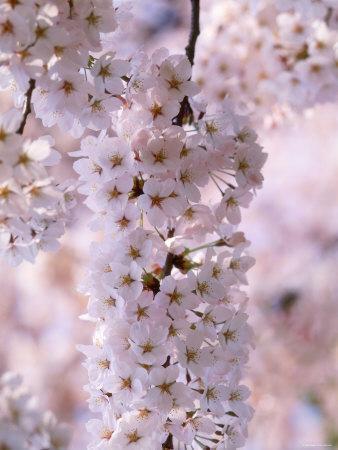 https://imgc.artprintimages.com/img/print/cherry-blossoms_u-l-q10vxza0.jpg?p=0