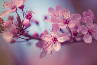 Cherry Blossums 1-Philippe Sainte-Laudy-Photographic Print
