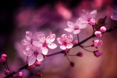 https://imgc.artprintimages.com/img/print/cherry-blossums-5_u-l-q1c5hdr0.jpg?p=0