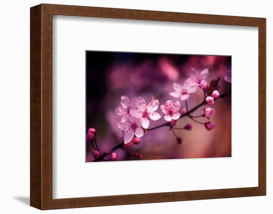 Cherry Blossums 5-Philippe Sainte-Laudy-Framed Photographic Print