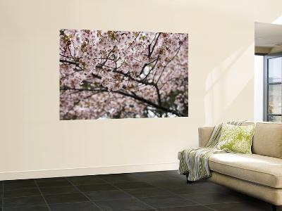 Cherry Blossums (Sakura) Along Cherry Blossum Street in Shizunai-Shayne Hill-Wall Mural