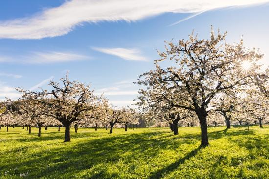 Cherry Orchard in Bloom-Frank Lukasseck-Photographic Print