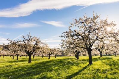 https://imgc.artprintimages.com/img/print/cherry-orchard-in-bloom_u-l-pzquv80.jpg?p=0
