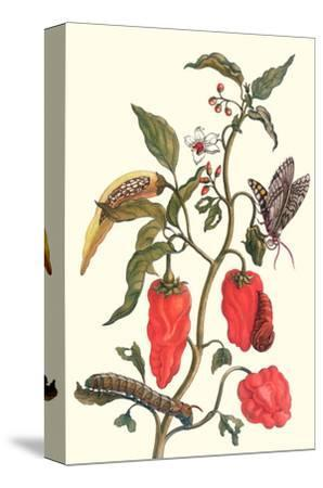 Cherry Pepper and Tobacco Hornworm with Five Spotted Hawkmoth-Maria Sibylla Merian-Stretched Canvas Print