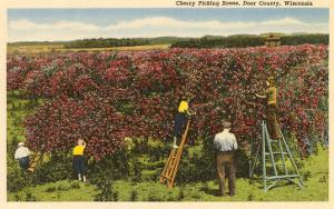 Cherry Picking, Door County, Wisconsin