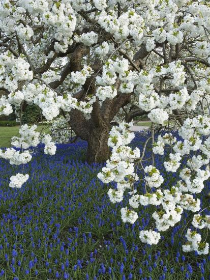 Cherry tree blooming over Muscari armeniacum-Clive Nichols-Photographic Print
