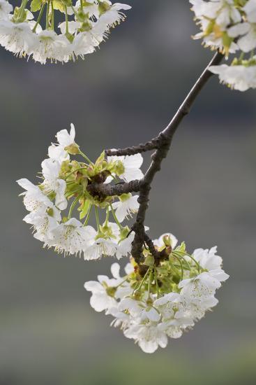 Cherry Tree, Blossoms, Branch-Rainer Mirau-Photographic Print