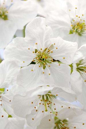 https://imgc.artprintimages.com/img/print/cherry-tree-branch-detail-blooms-tree_u-l-q11vefw0.jpg?p=0