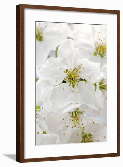 Cherry Tree, Branch, Detail, Blooms, Tree-Herbert Kehrer-Framed Photographic Print