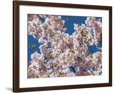 Cherry Tree in Full Blossom, Munich, Germany, Europe-P. Widmann-Framed Photographic Print