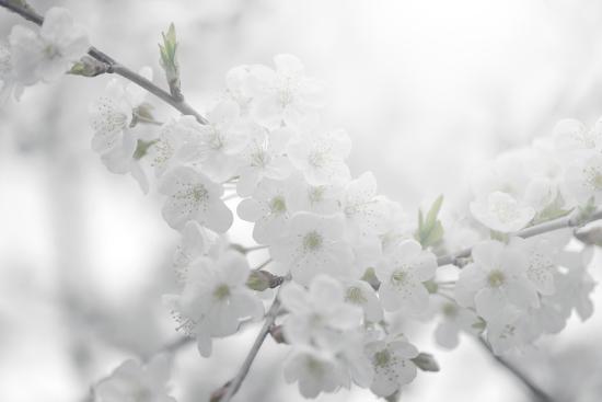 Cherry Tree-Philippe Sainte-Laudy-Photographic Print