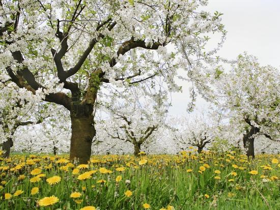 Cherry Trees and Dandelions in Bloom-Frank Lukasseck-Photographic Print
