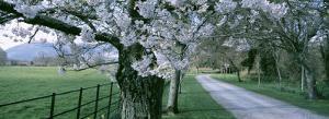 Cherry Trees and Path, Killaney, Ireland