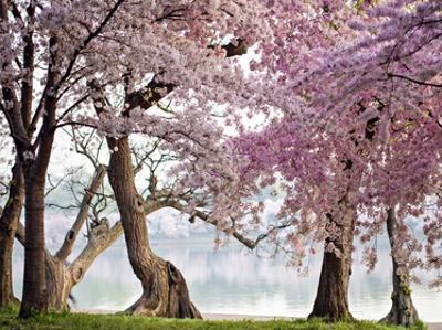 Cherry trees bloom, Washington, USA