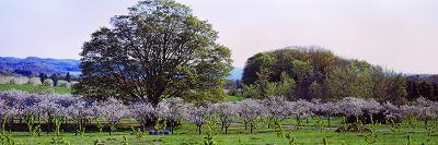 Cherry Trees in an Orchard, Michigan, USA--Photographic Print