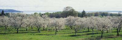 Cherry Trees in an Orchard, Mission Peninsula, Traverse City, Michigan, USA--Photographic Print