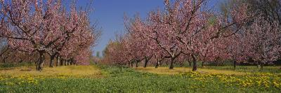 Cherry Trees in an Orchard, South Haven, Michigan, USA--Photographic Print