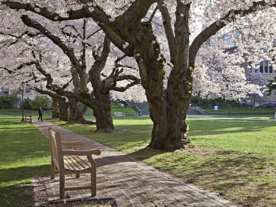 Cherry Trees on University of Washington Campus, Seattle, Washington, USA-Charles Sleicher-Photographic Print