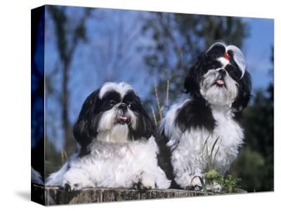 Shih Tzu Variety of a Toy Domestic Dog