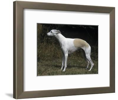 Whippet Breed of Domestic Dog