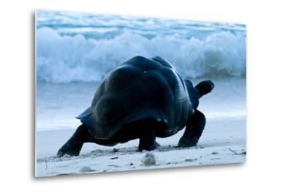 Aldabra Giant Tortoise (Geochelone Gigantea) Walking Along The Sea Shore, Aldabra Atoll, Seychelles