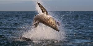 Great White Shark (Carcharodon Carcharias) Breaching by Cheryl-Samantha Owen