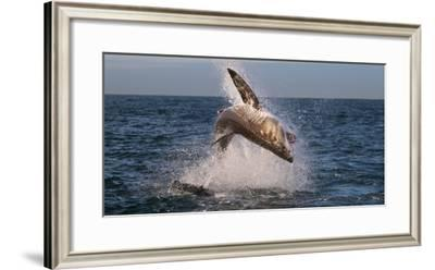 Great White Shark (Carcharodon Carcharias) Breaching