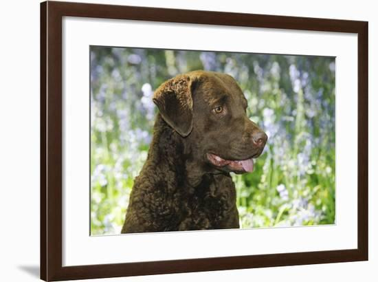 Chesapeake Bay Retriever in Forget Me Nots (Head Shot)--Framed Photographic Print