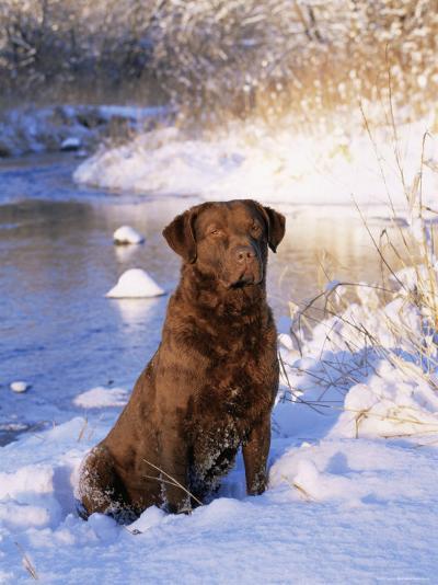 Chesapeake Bay Retriever Sitting in Snow by River, Illinois, USA-Lynn M^ Stone-Photographic Print