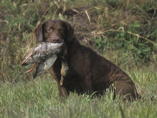 Chesapeake Bay Retriever Sitting with a Retrieved Duck in its Mouth-Cheryl Ertelt-Photographic Print