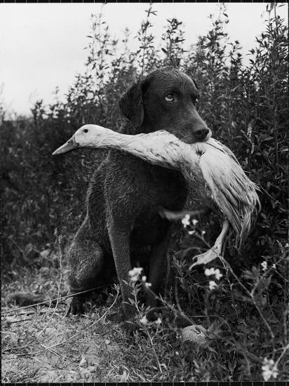 Chesapeake Bay Retriever Trigger Holds Donald the Duck After being thrown Into Water by Owner-Loomis Dean-Photographic Print